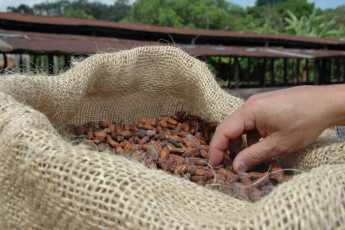 After fermenting, the seeds, better known as cocoa beans, are dried in the hot sun for many days before being shipped to chocolate factories.