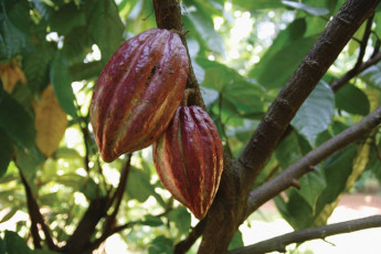 The fruit of the cacao tree is known as a cocoa pod - it is from the seeds of this fruit that chocolate is made.